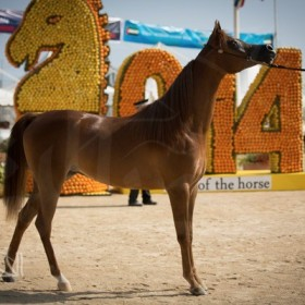 Menton 2014 International Arabian Horses Championship
