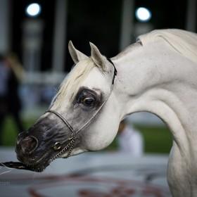 Abu Dhabi 2013 Arabian Horses Championship