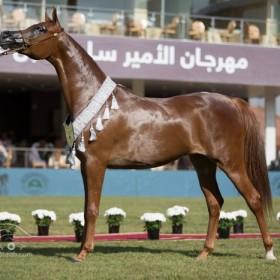 Prince Sultan Bin Abdulaziz International Arabian Horse Championship 2014