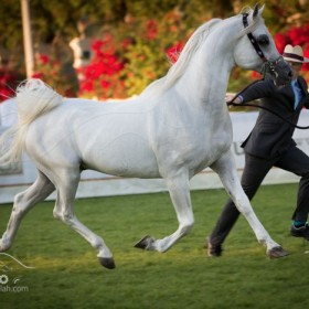 Abu Dhabi international Arabian horses Championship 2014