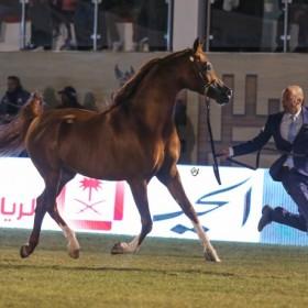 Prince Sultan Bin Abdulaziz International Arabian Horse Championship 2016
