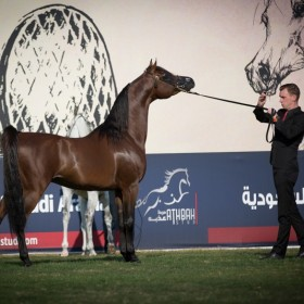 Abu Dhabi 2016 Arabian Horses Championship