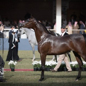 Prince Sultan Bin Abdulaziz International Arabian Horse Championship 2017
